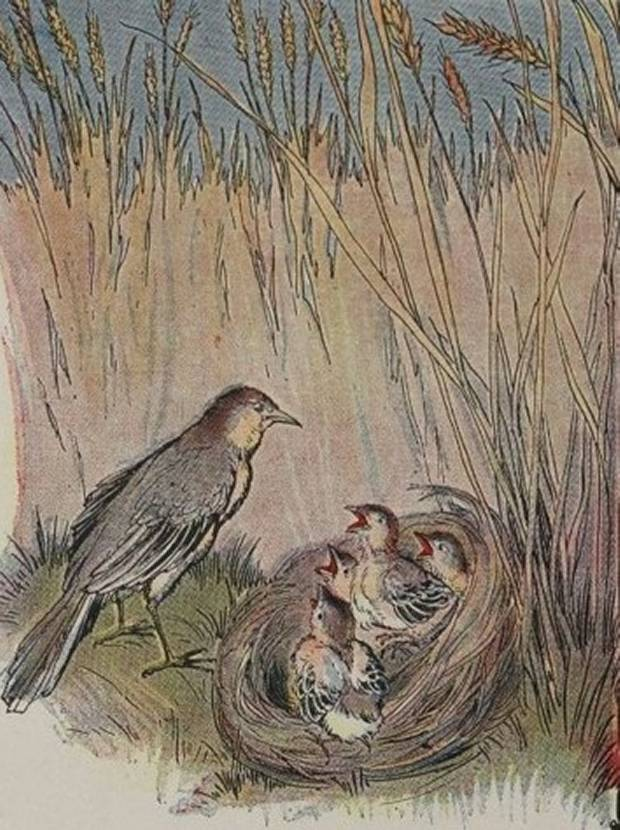 Aesop's Fables - The Lark And Her Young Ones By Milo Winter