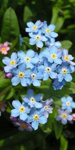 The Forget-Me-Not - A German Legend