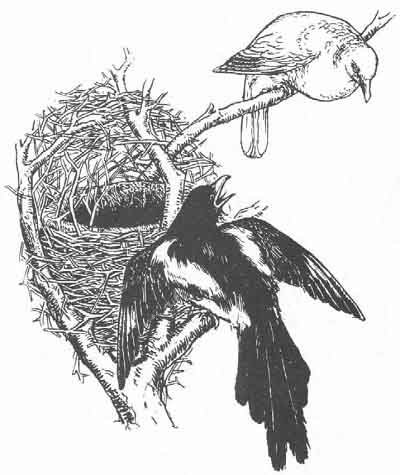 English Fairy Tale - Illustration For The Magpie's Nest