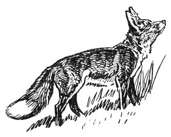 Legend Of The Iroquois - How The Coon Outwitted The Fox