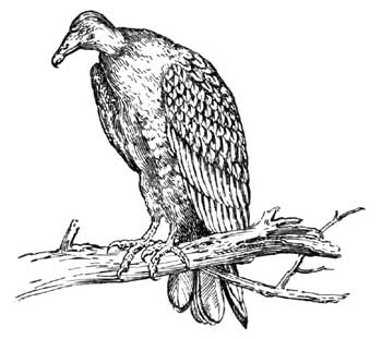 Legend Of The Iroquois - How The Turkey Buzzard Got His Suit