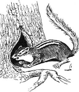 Legend Of The Iroquois - Why The Chipmunk Has Black Stripes